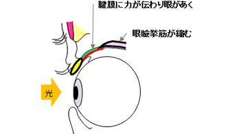目を開ける仕組み2